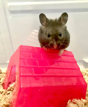 Picturesleeping hamster, black syrian fancy bear hamster, putting down a pet, euthanasia, how to cope with the loss of a pet