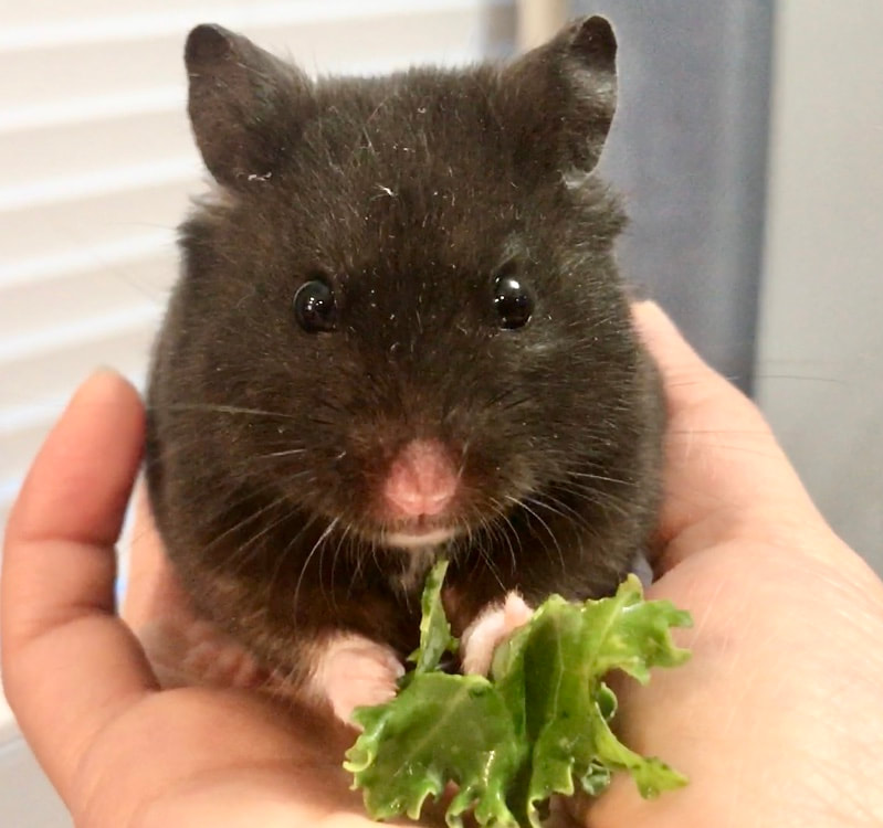 hamster eating kale, sleeping hamster, black syrian fancy bear hamster, putting down a pet, euthanasia, how to cope with the loss of a pet