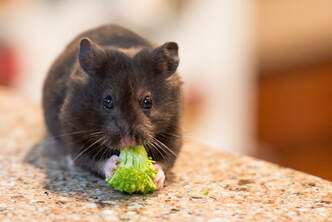 black syrian fancy bear hamster, putting down a pet, euthanasia, how to cope with the loss of a pet